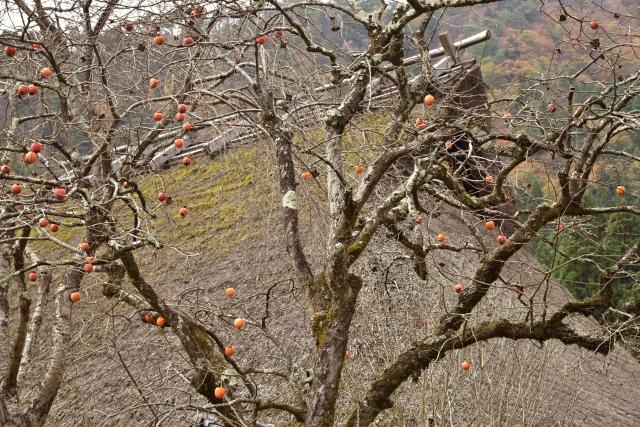 柿の木と民家